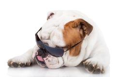 English bulldog dog in sunglasses Stock Images