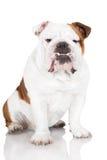 English bulldog dog on white Royalty Free Stock Images