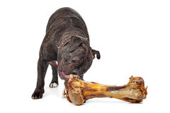 English Bulldog eating a bone Stock Image