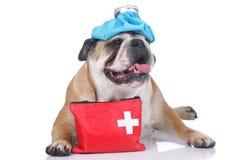 English bulldog with emergency kit Stock Images