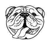English bulldog face Stock Image