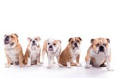 English bulldog family Royalty Free Stock Image