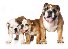 English bulldog father and puppy on white background Stock Photo