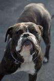 English bulldog. Female english bulldog dog portrait Royalty Free Stock Photo