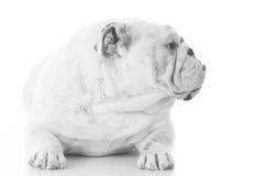 English bulldog female Royalty Free Stock Photo