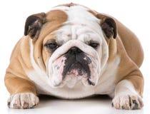 English bulldog female Stock Photo