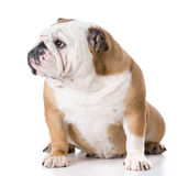 English bulldog female Stock Images
