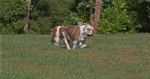 English Bulldog, Females running on Grass, Slow Motion. 4K stock video