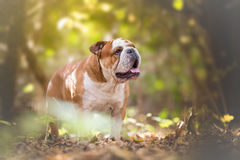 English Bulldog in the forest Stock Photography
