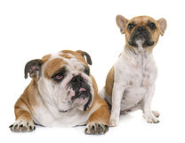 English bulldog and french bulldog Royalty Free Stock Photo
