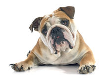 English bulldog Stock Image