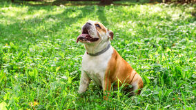 English bulldog in the grass Royalty Free Stock Images