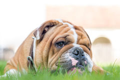 English bulldog in the grass Stock Photos