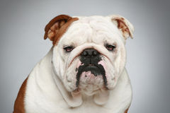 English bulldog on grey background Royalty Free Stock Photography
