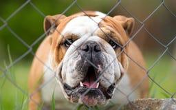 English bulldog guard dog Stock Photo