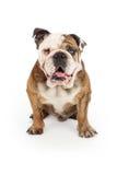 English Bulldog Happy Face Stock Photos
