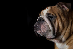 English bulldog head portrait on black background Royalty Free Stock Photos