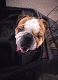 English bulldog head Royalty Free Stock Photos