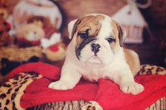 English bulldog holiday log Stock Photos