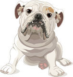 English Bulldog Royalty Free Stock Photos
