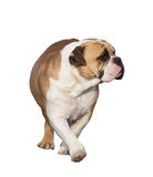 English Bulldog Isolated With Clipping Path. An English Bulldog isolated on a white background with clipping path royalty free stock image