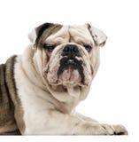 English Bulldog isolated on white Royalty Free Stock Image