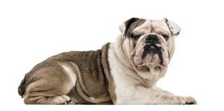 English Bulldog isolated on white Stock Photo