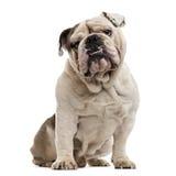 English Bulldog isolated on white Royalty Free Stock Photography
