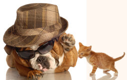 English bulldog and kitten Stock Photo