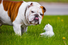 English bulldog and a kitten Stock Photo