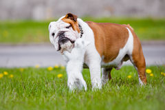 English bulldog and a kitten Stock Photos