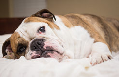 English Bulldog laying in bed Royalty Free Stock Photos