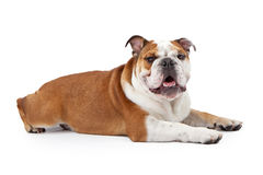 English Bulldog Laying Down Stock Images