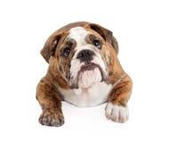 English Bulldog Laying Looking Up Stock Images