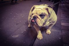 English bulldog on a lead sitting waiting Royalty Free Stock Photography