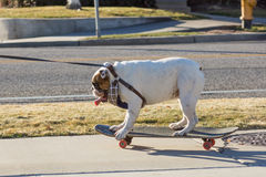 English bulldog on a leash ride on Skateboard Royalty Free Stock Images