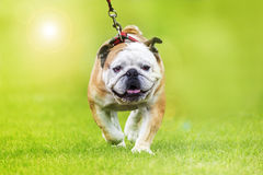 English bulldog leash walking Stock Image