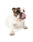 English Bulldog Licking Lips Stock Photos