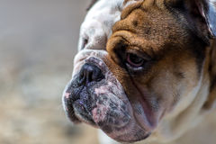 English Bulldog looking out from under his brows. Stock Photo