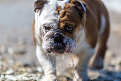 English Bulldog looking out from under his brows. Royalty Free Stock Photo