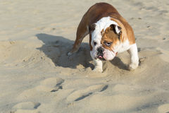 English Bulldog looking sternly. In a fighting stance Stock Photography