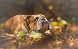 English Bulldog looking up at the forest Royalty Free Stock Image