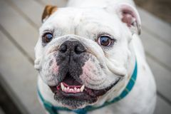 Bulldog smiling for a portrait stock photography
