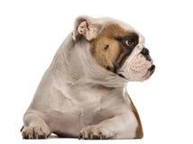 English Bulldog lying down and looking away Royalty Free Stock Photography