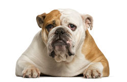 English Bulldog lying Royalty Free Stock Photography