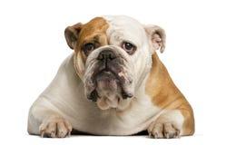 English Bulldog lying Royalty Free Stock Photography