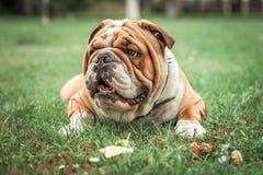 English bulldog lying in the grass. Selective focus Royalty Free Stock Photo