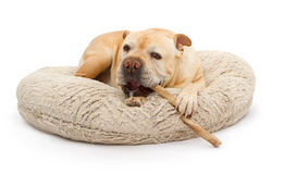 English Bulldog Mixed Breed Dog With Bully Stick Royalty Free Stock Image