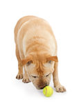 English Bulldog Mixed Breed Dog Chasing Ball Stock Photos