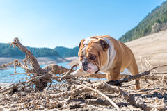 English bulldog in the nature Royalty Free Stock Photos